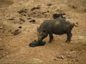 pork is filthy